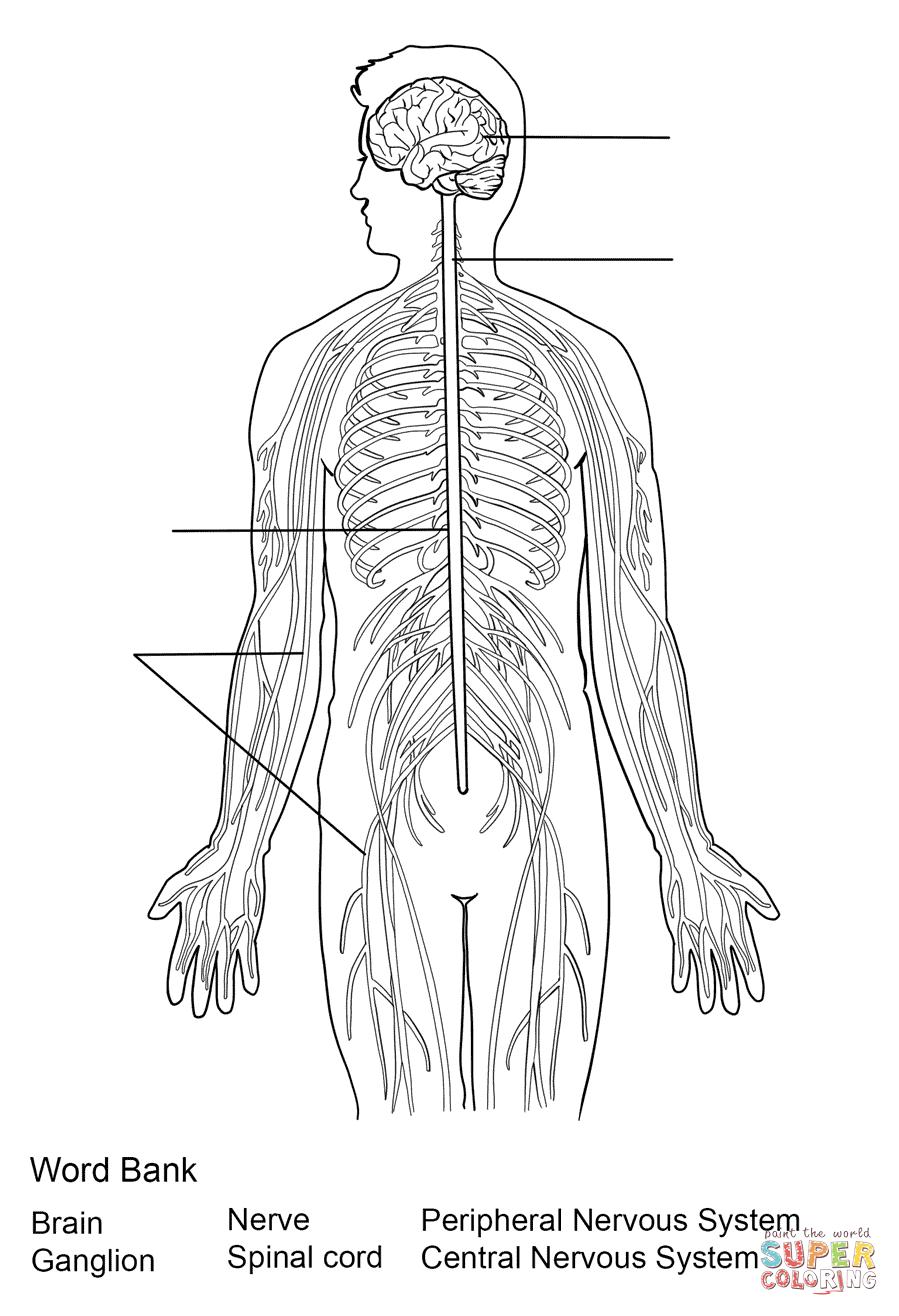 Juegos de Ciencias | Juego de Sistema nervioso central y periférico ...