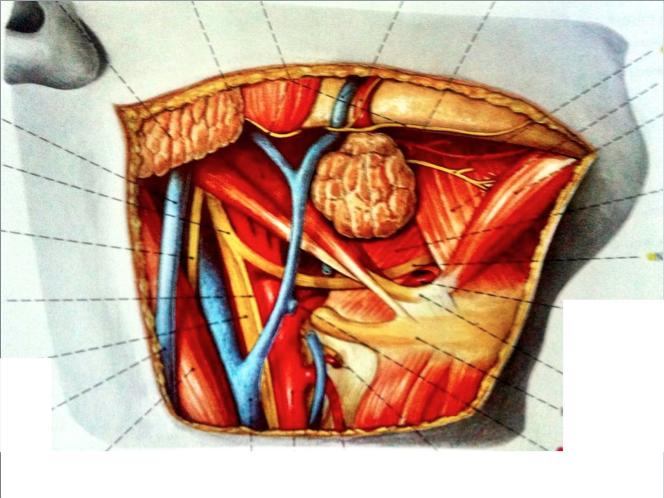 Juegos de Ciencias | Juego de Anatomía del Triángulo Submandibular ...