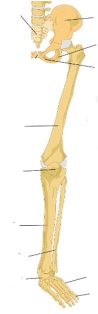 Juegos de Ciencias   Juego de Miembro inferior huesos   Cerebriti