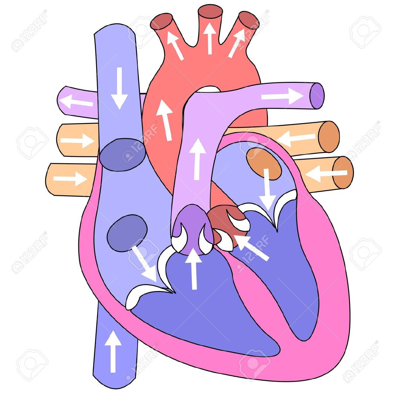 Vistoso Las Partes Del Corazón Foto - Anatomía de Las Imágenesdel ...