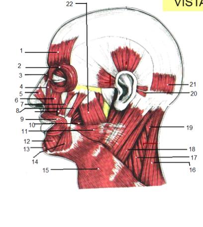 Juegos de Ciencias | Juego de Músculos de la cabeza vista lateral ...