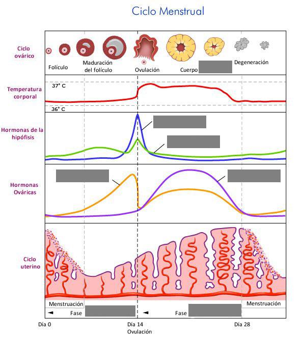 ciclo menstrual para niños de primaria