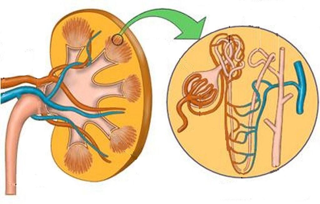 Juegos de Ciencias | Juego de Partes del riñón #2 | Cerebriti