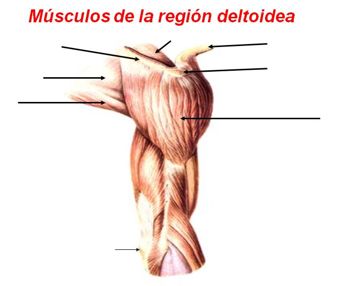 Juegos de Ciencias   Juego de Músculos de la región deltoidea ...