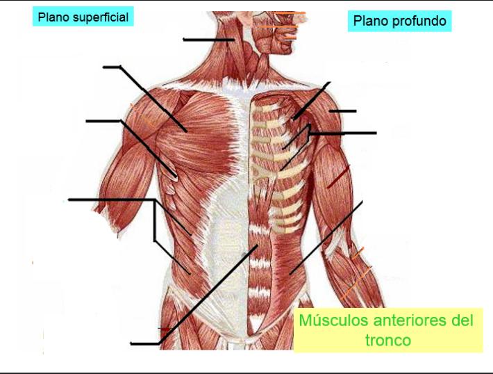 Juegos de Ciencias   Juego de Músculos anteriores del tronco   Cerebriti