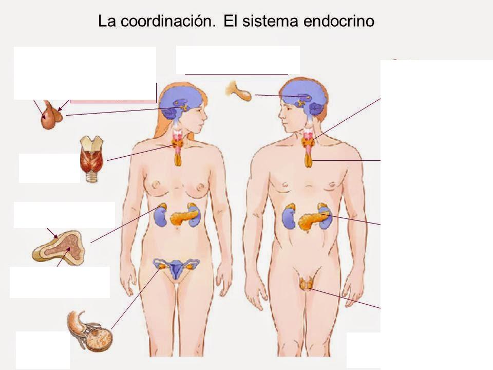 Juegos de Ciencias | Juego de Glándulas del sistema endocrino ...