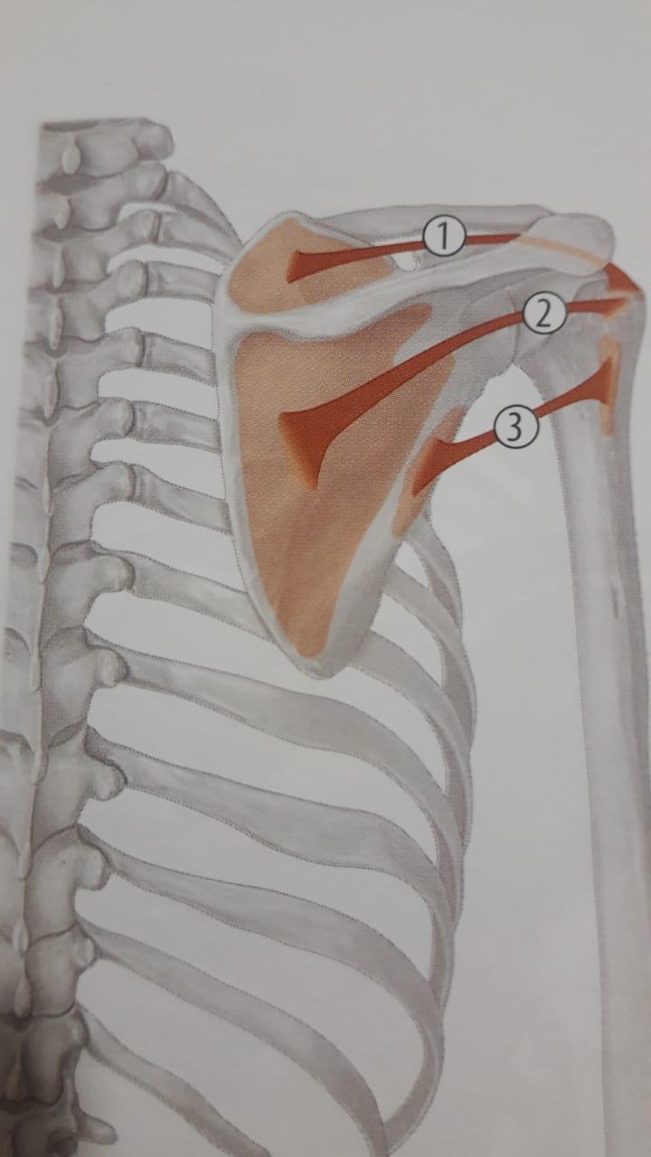 Insercion del musculo supraespinoso