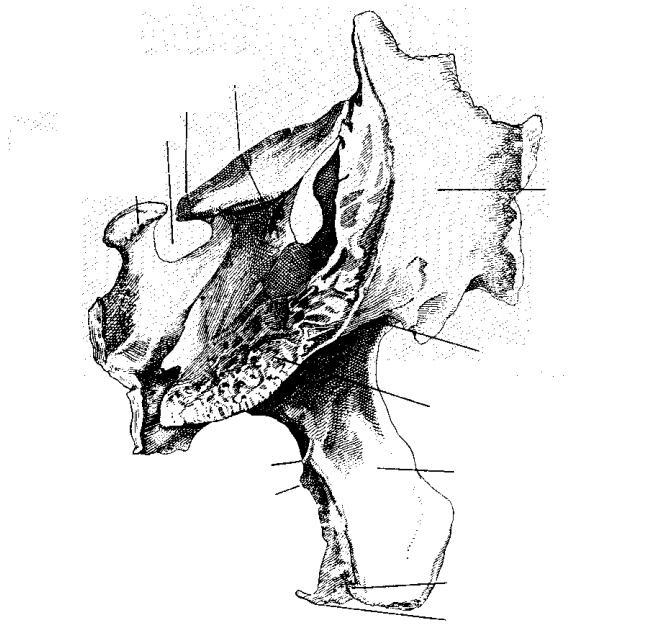 Juegos de Ciencias | Juego de Esfenoides (Cara lateral) | Cerebriti
