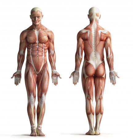 Juegos de Ciencias | Juego de Músculos del cuerpo | Cerebriti