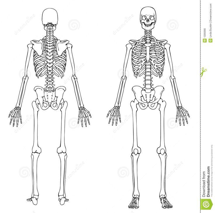 Perfecto Esqueleto Detallada Viñeta - Anatomía de Las Imágenesdel ...