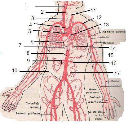 Juegos de Ciencias | Juego de Arterias del tronco | Cerebriti