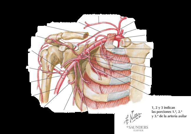 Juegos de Ciencias   Juego de Ramas de la arteria axilar (Netter ...