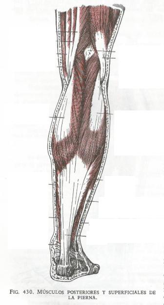musculos posteriores de las piernas