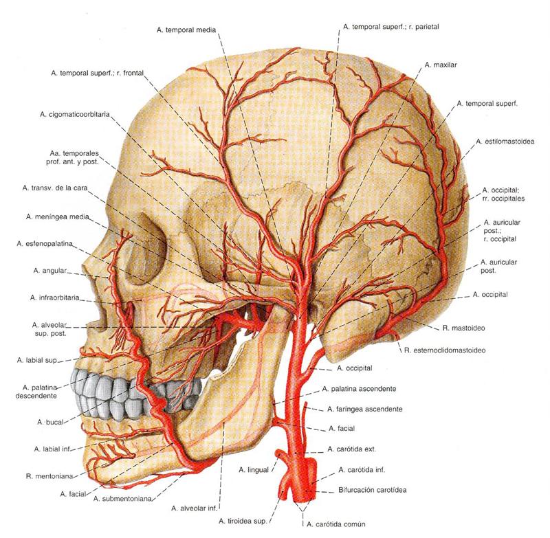 Encantador Arterias De La Cabeza Imágenes - Imágenes de Anatomía ...