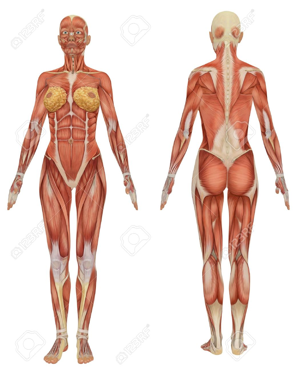 Juegos de Ciencias   Juego de Músculos - Vista anterior y posterior ...
