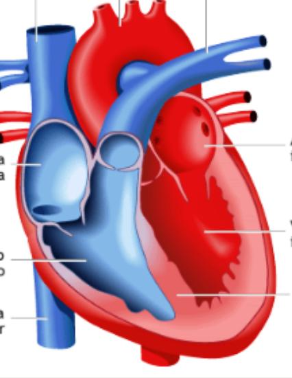 Juegos de Ciencias | Juego de El corazón: partes | Cerebriti