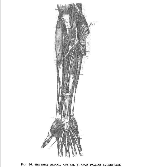 Juegos de Ciencias | Juego de Arteria radial, cubital y arco palmar ...