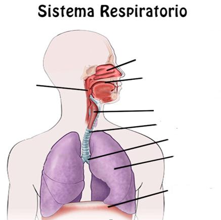 Juegos de Ciencias   Juego de Partes del sistema respiratorio (3 ...