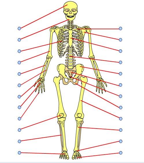 Juegos de Ciencias | Juego de Esqueleto humano - Huesos | Cerebriti