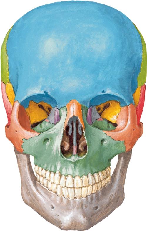 Juegos de Ciencias | Juego de Huesos del cráneo (vista anterior ...