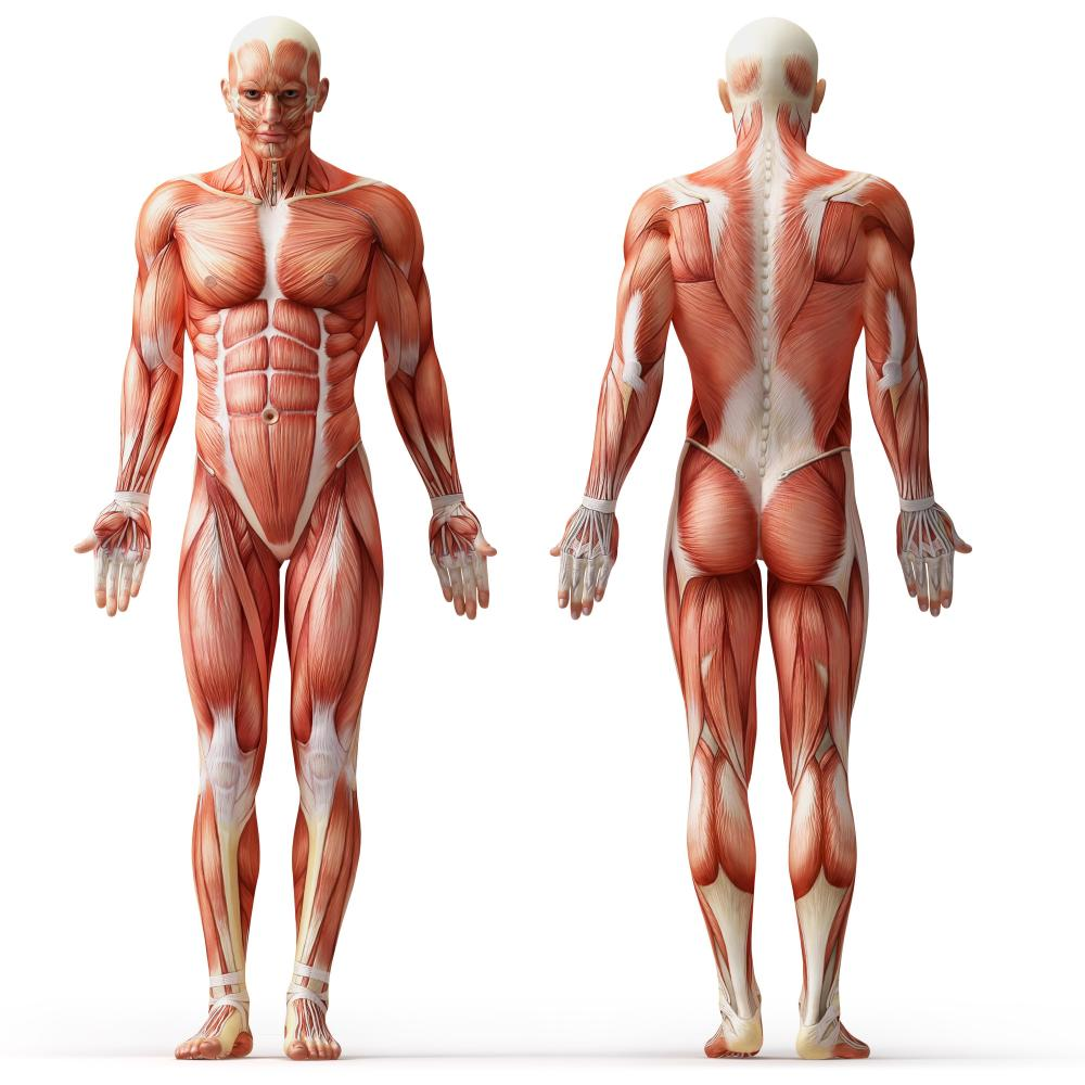 Muscles Of The Human Body Lessons Tes Teach