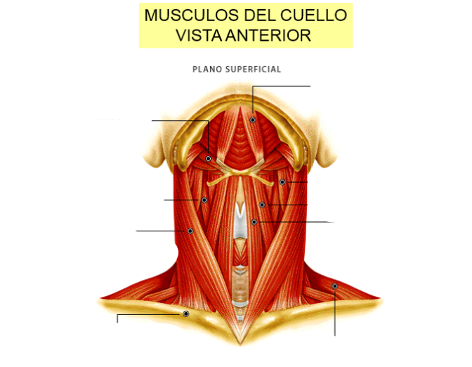 Juegos de Ciencias | Juego de Músculos del cuello vista anterior ...